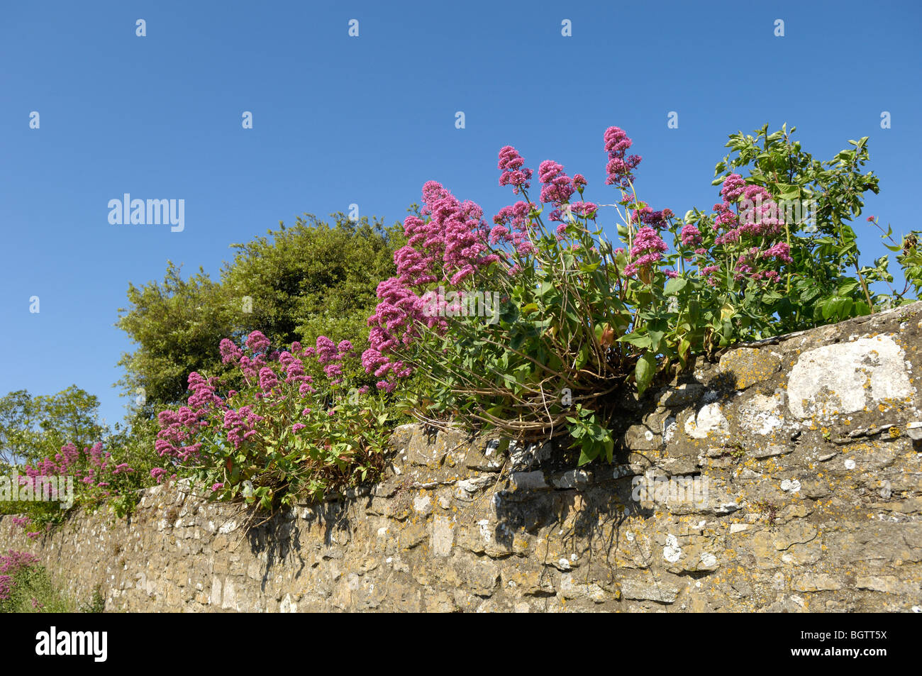 Red Valerian (Centranthus ruber) growing in old stone wall, Dorset, UK. - Stock Image
