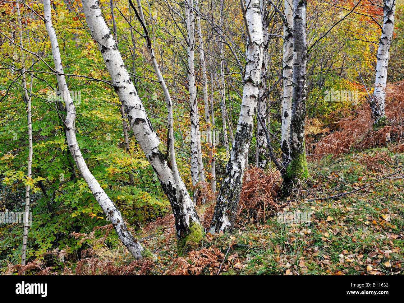 Grove of birch-trees and other autumn colours along a mountain ...