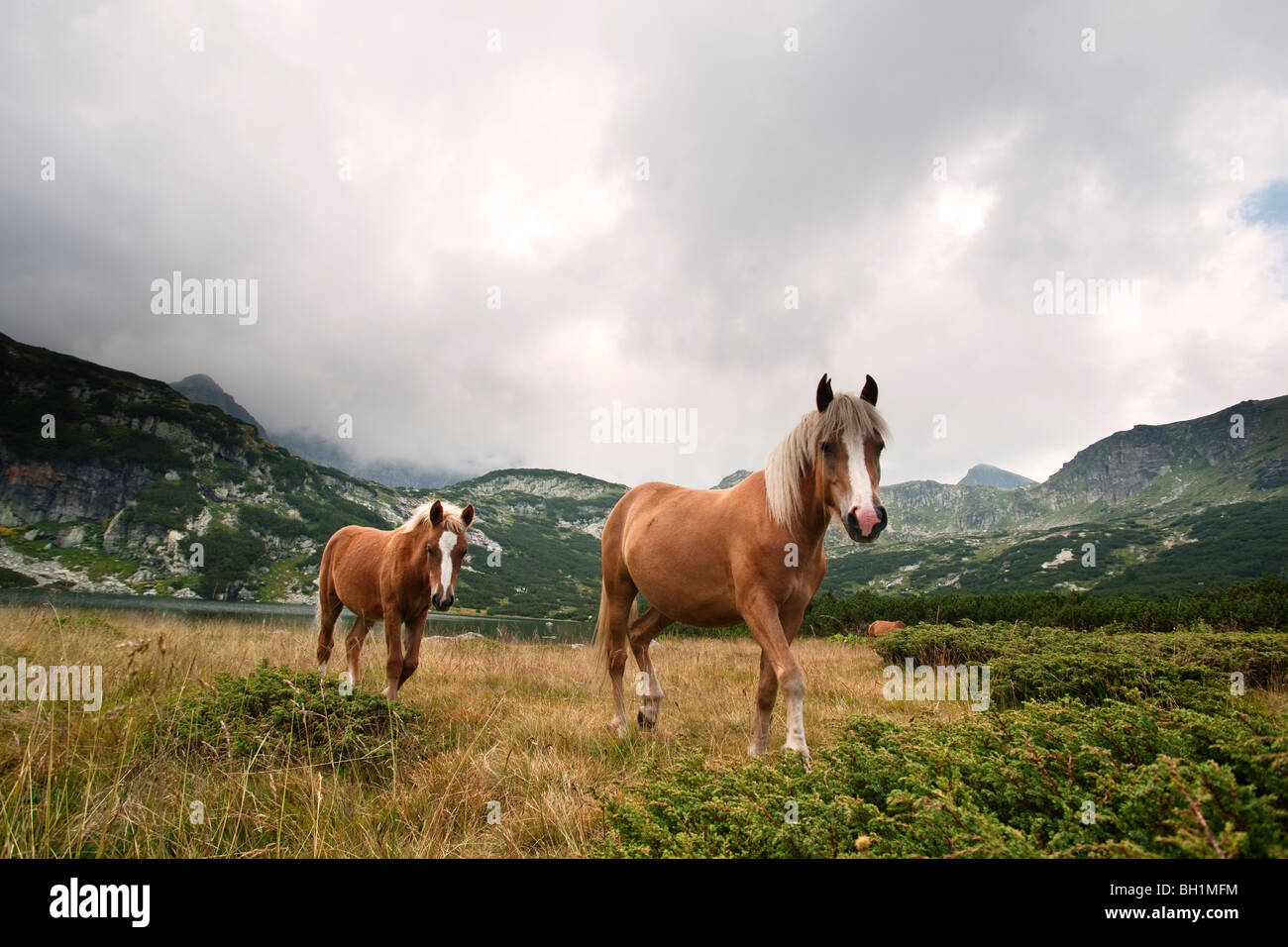 wild horse and foal at the seven Rila lakes Bulgaria - Stock Image