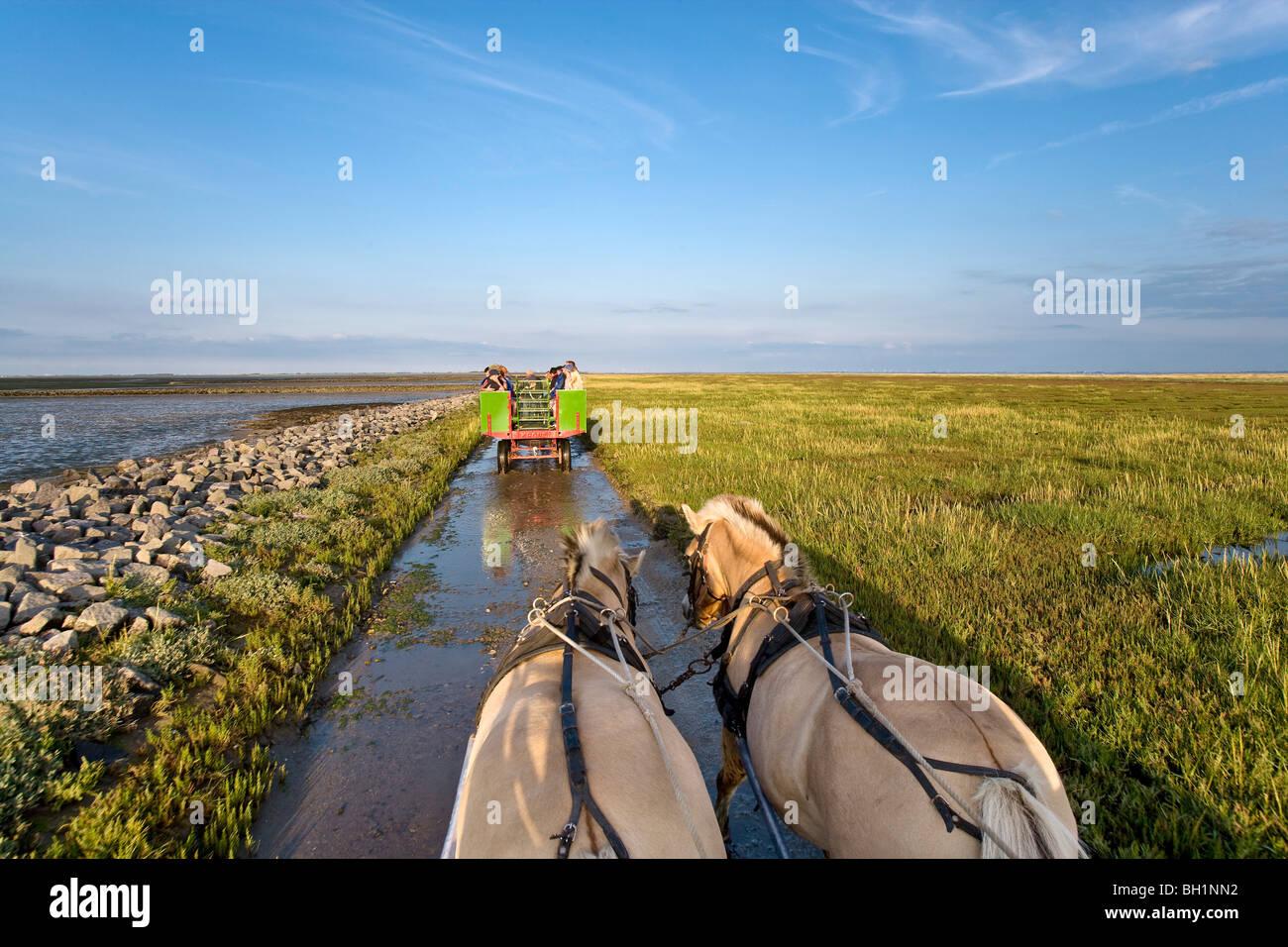 Horse Carriage Tour to Hallig Suedfall, North Frisian Islands, Schleswig-Holstein, Germany - Stock Image