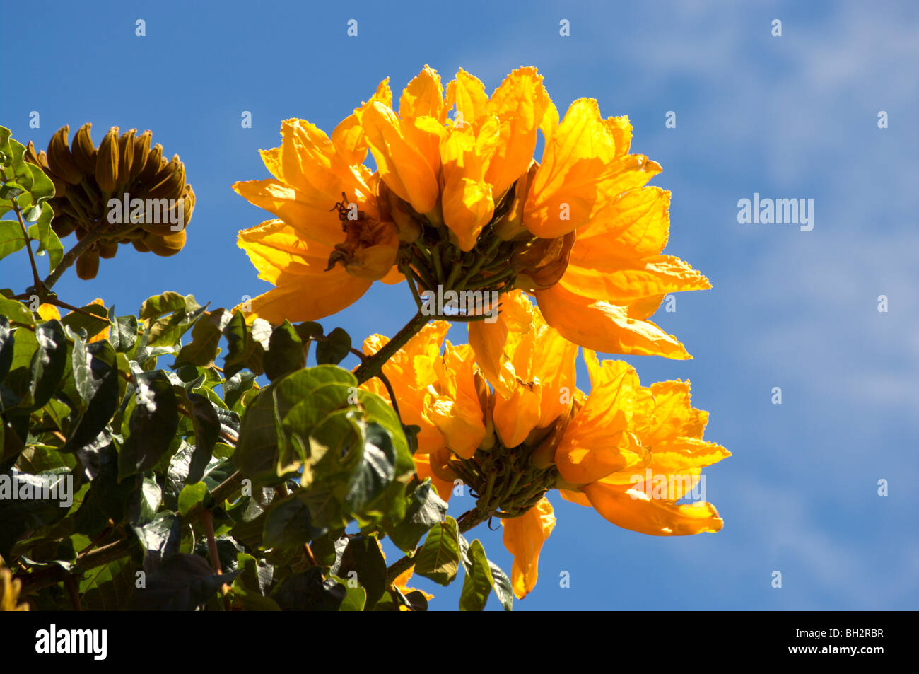 Yellow Flowered Variety Of The African Tulip Tree Kauai Hi Stock