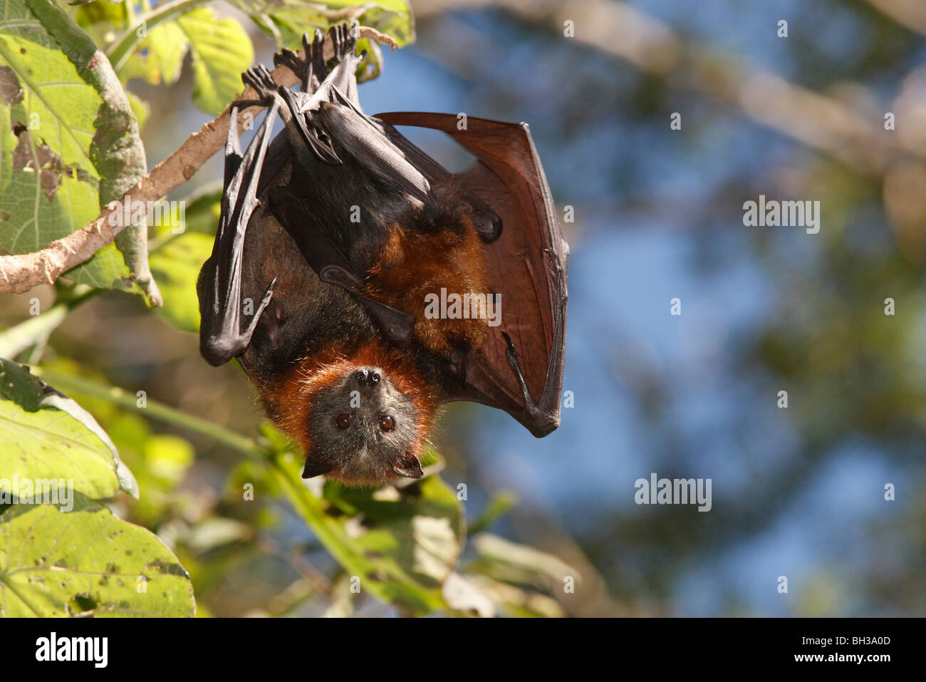 grey-headed-flying-foxes-pteropus-poliocephalus-there-is-a-juvenile-BH3A0D.jpg