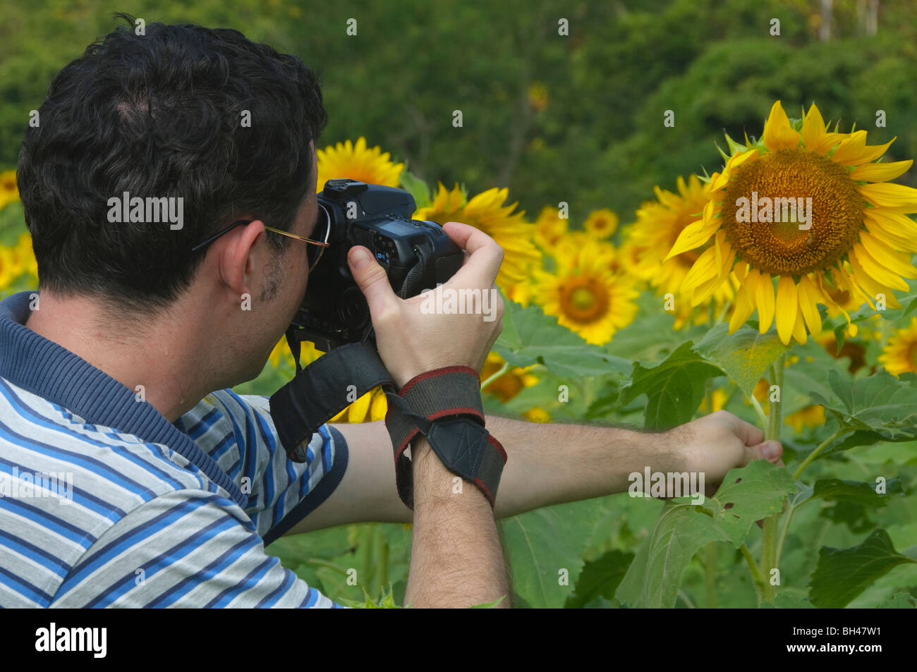 photographer in colorful sunflower fields near Saraburi Thailand - Stock Image