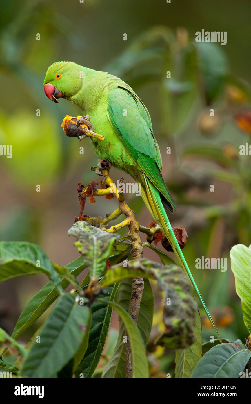 RING-NECKED or ROSE-RINGED PARAKEET (Psittacula krameri) eating Common Medlar fruit (Mespilus germanica). - Stock Image