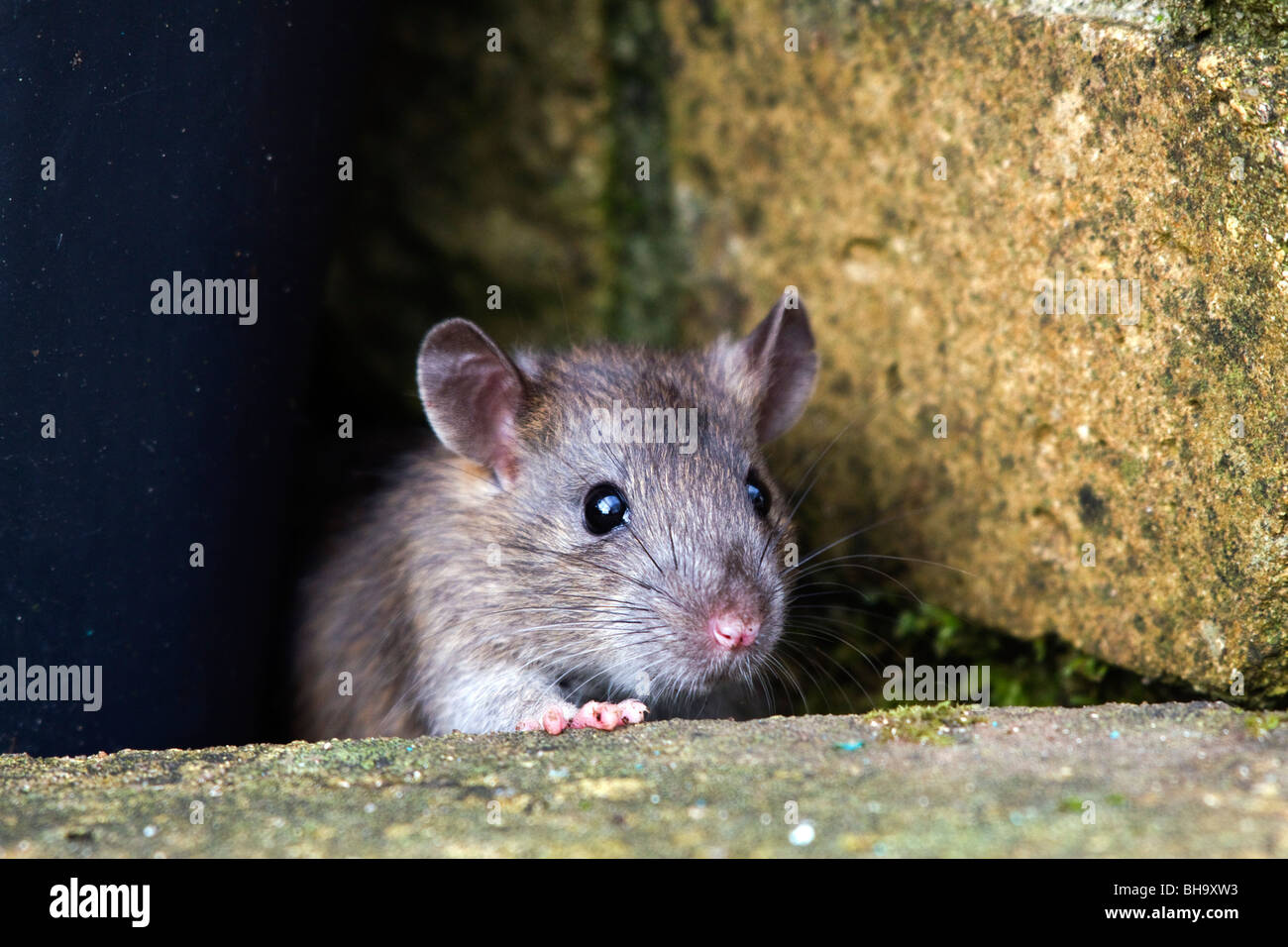 brown-rat-rattus-norvegicus-in-garden-BH