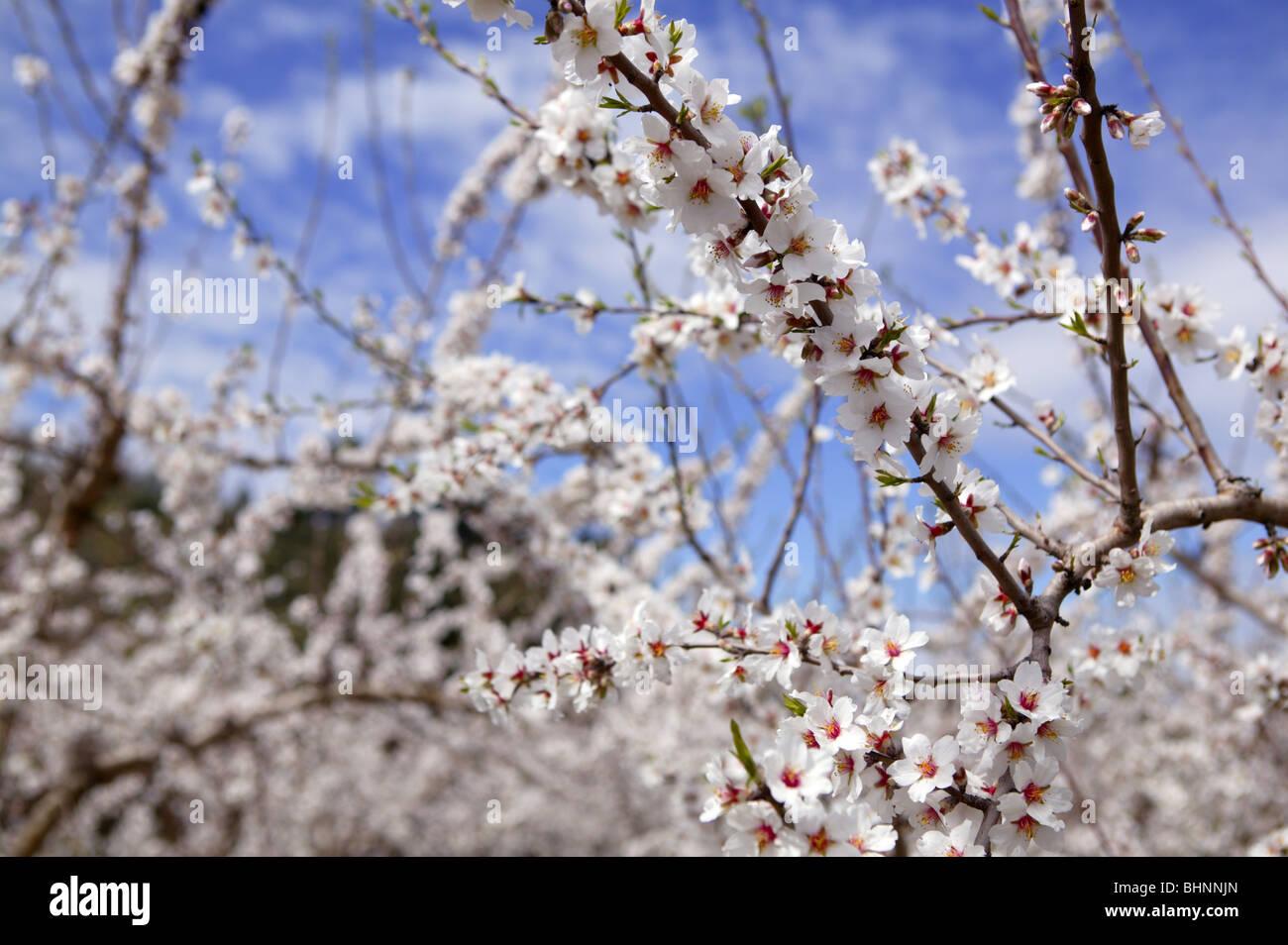 Almond flower trees field in spring season pink white flowers stock almond flower trees field in spring season pink white flowers mightylinksfo Gallery