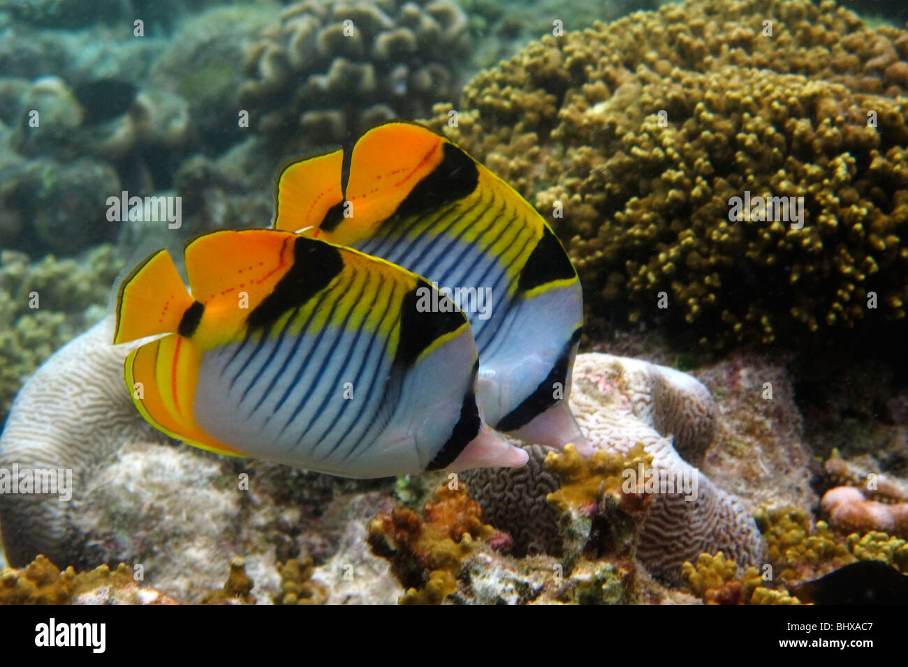 Coral fish at Biyadhoo Island Reef , Indian Ocean , South Male Atoll , Maldives - Stock Image