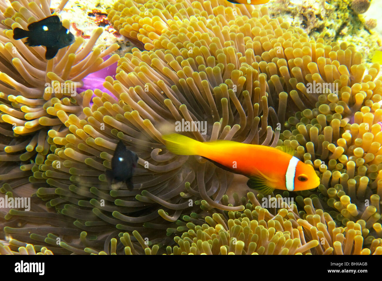False Clown fish with anmone , Biyadhoo Island South Male Atoll Maldives - Stock Image