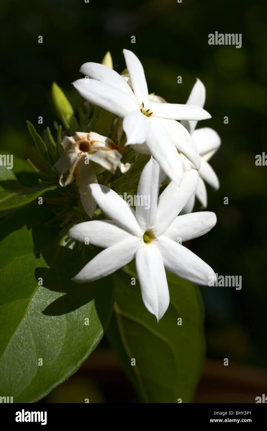 White arabian jasmine flowers stock photo 28255193 alamy white arabian jasmine flowers izmirmasajfo