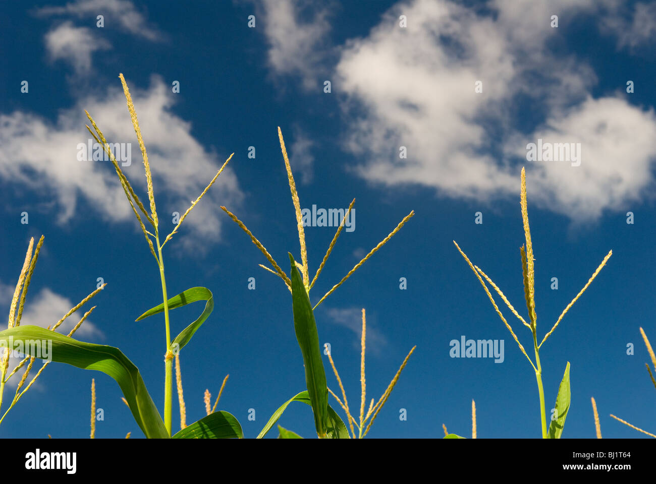 Cornfield in Indiana. Corn tassels for pollination. - Stock Image