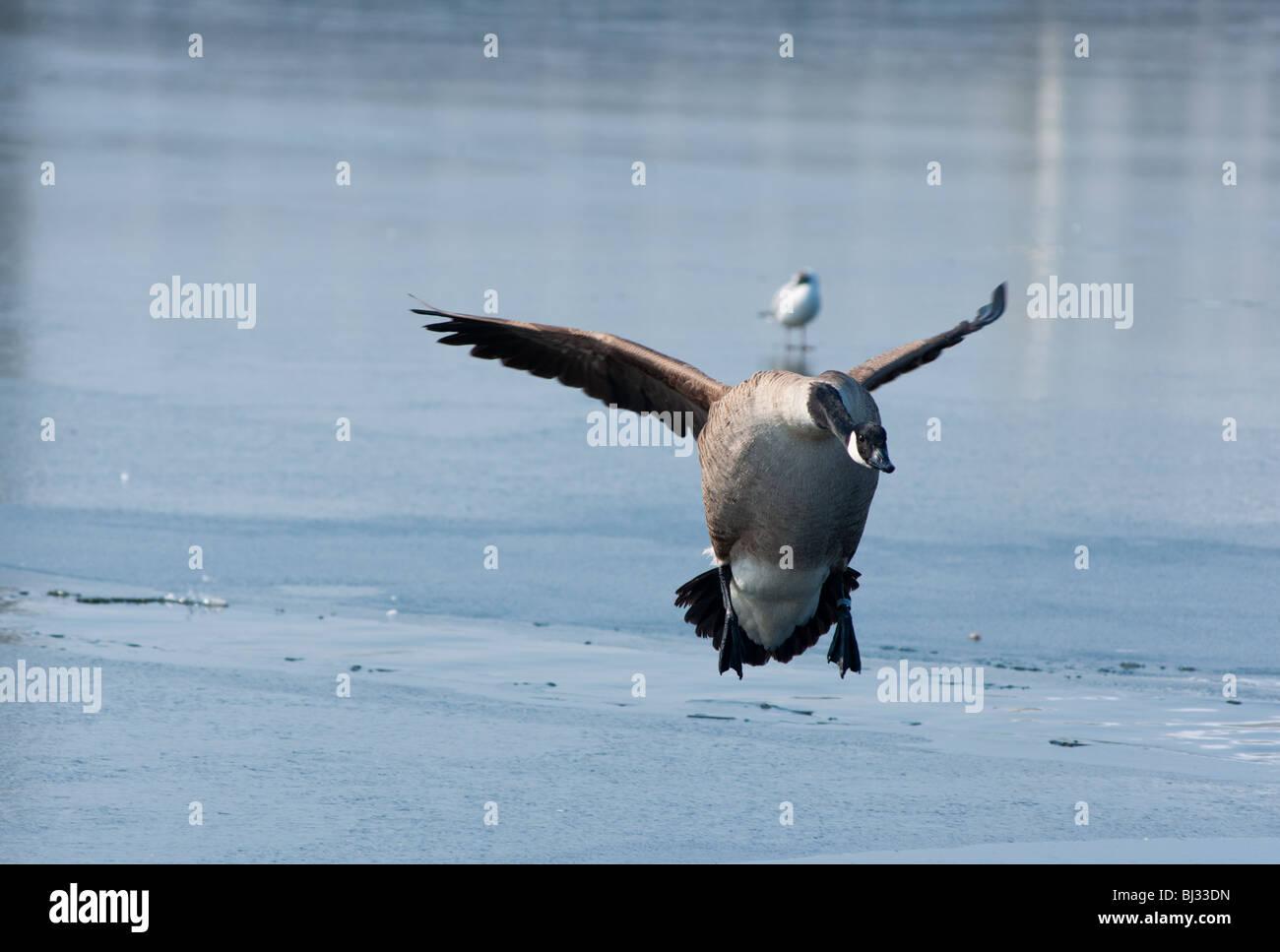 Goose landing - Stock Image