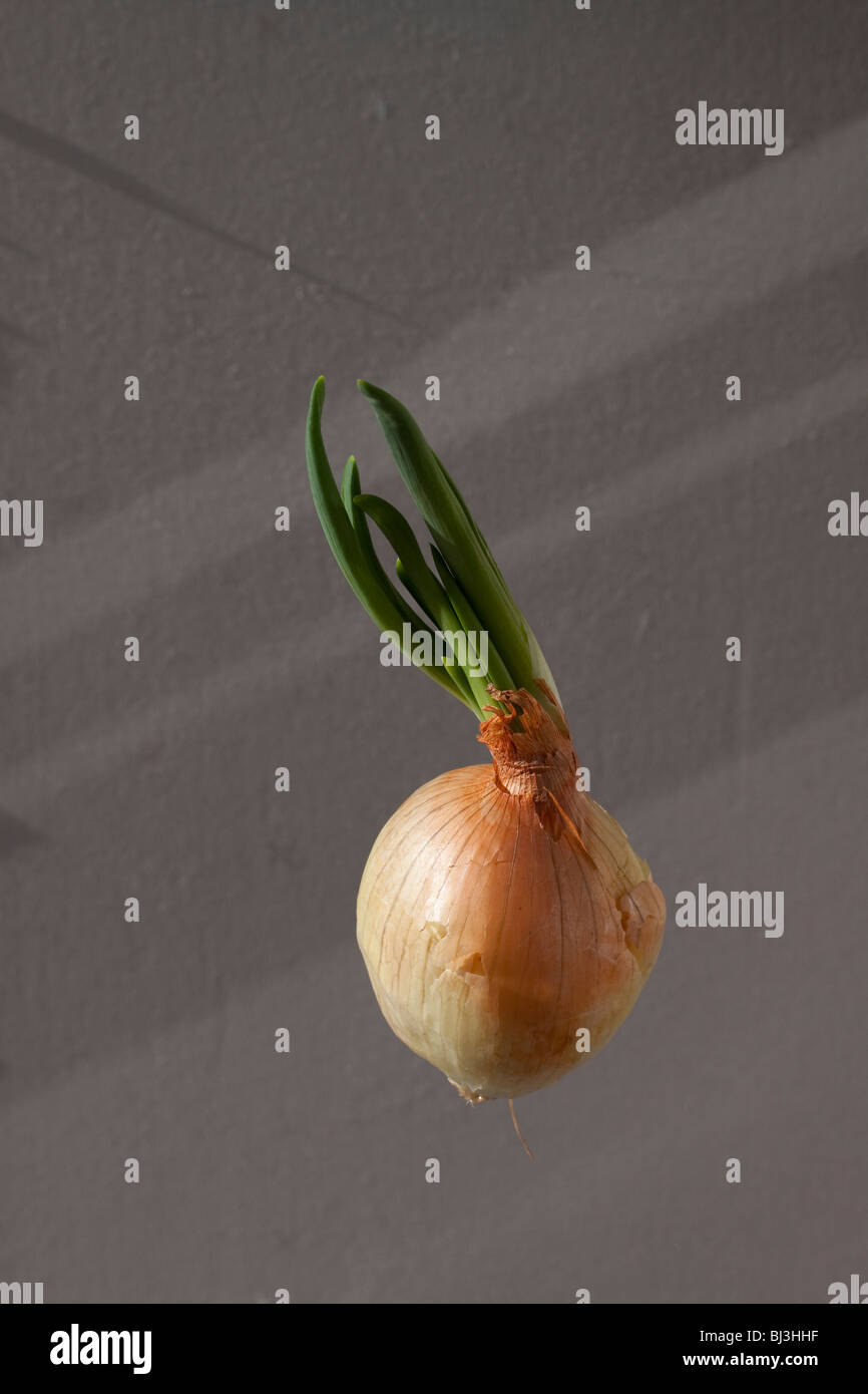 how to grow a yellow onion indoor