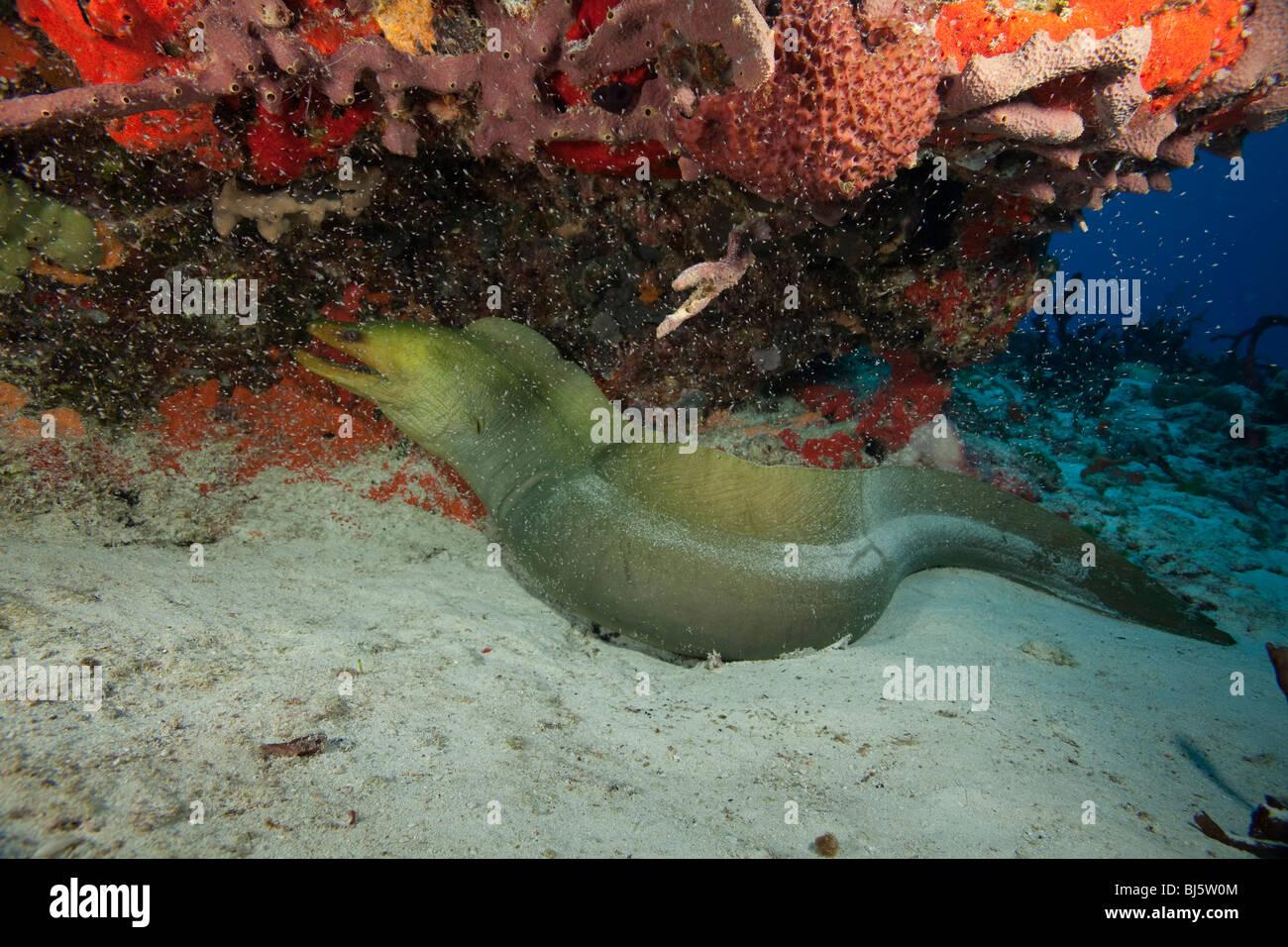 4-5' green moray eel on Villa Blanca Wall divesite, Cozumel, Mexico - Stock Image