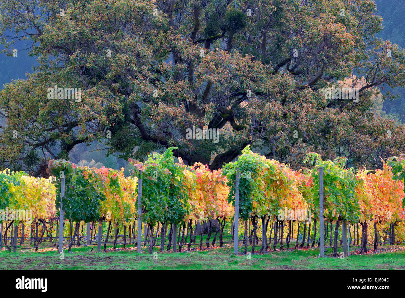 Vineyard and oak tree in fall color. Near Applegate, Oregon - Stock Image
