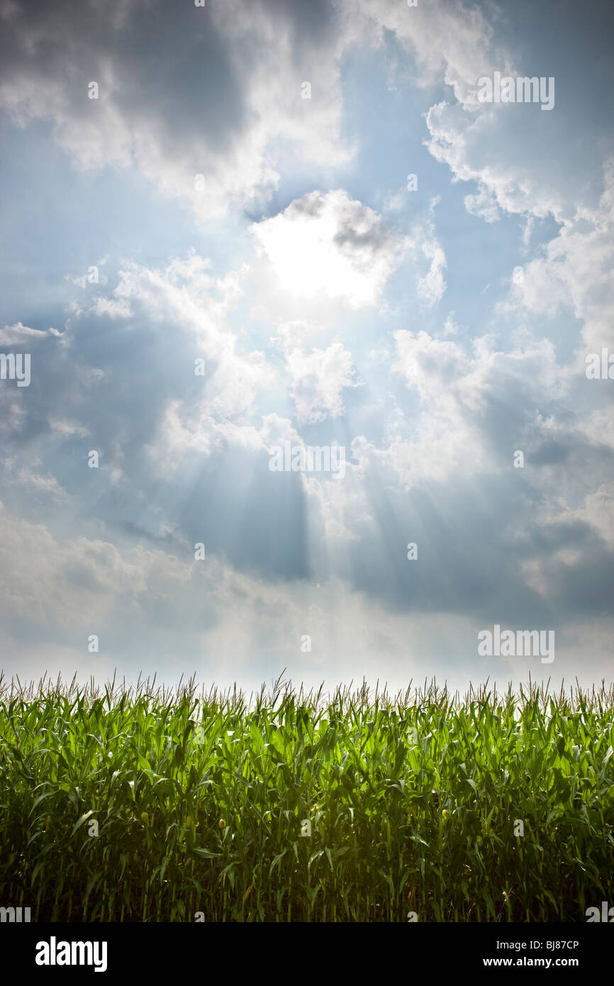 Sun shining on cornfield in the summer. - Stock Image