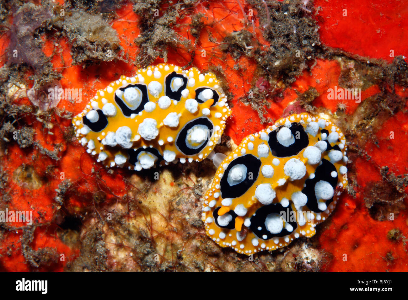 mating-nudibranchs-phyllidia-ocellatathe-sex-organs-are-visible-tulamben-BJ8YJ1.jpg