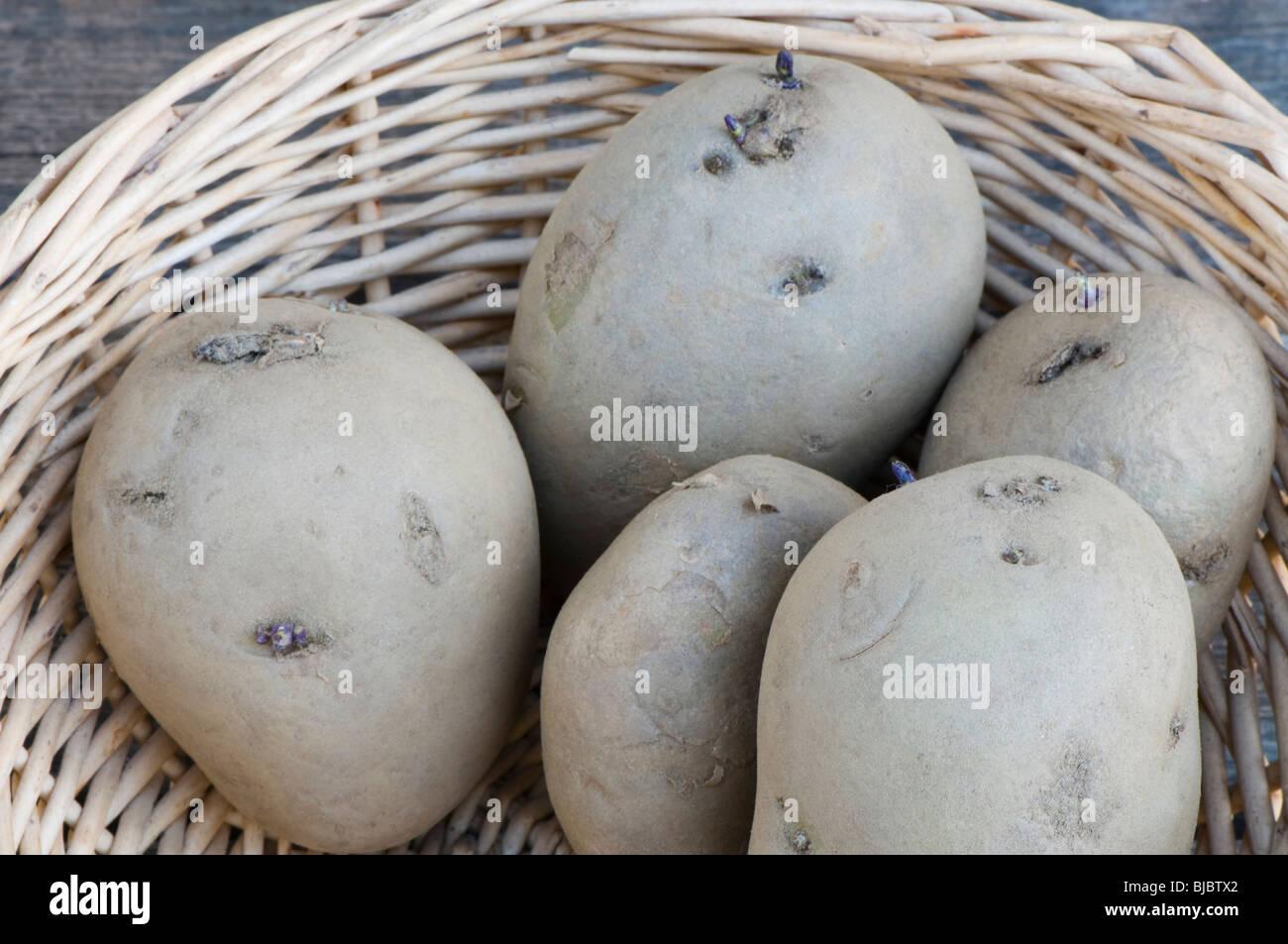 International Kidney seed potatoes, early main crop , also marketed as Jersey Royal, in a basket - Stock Image