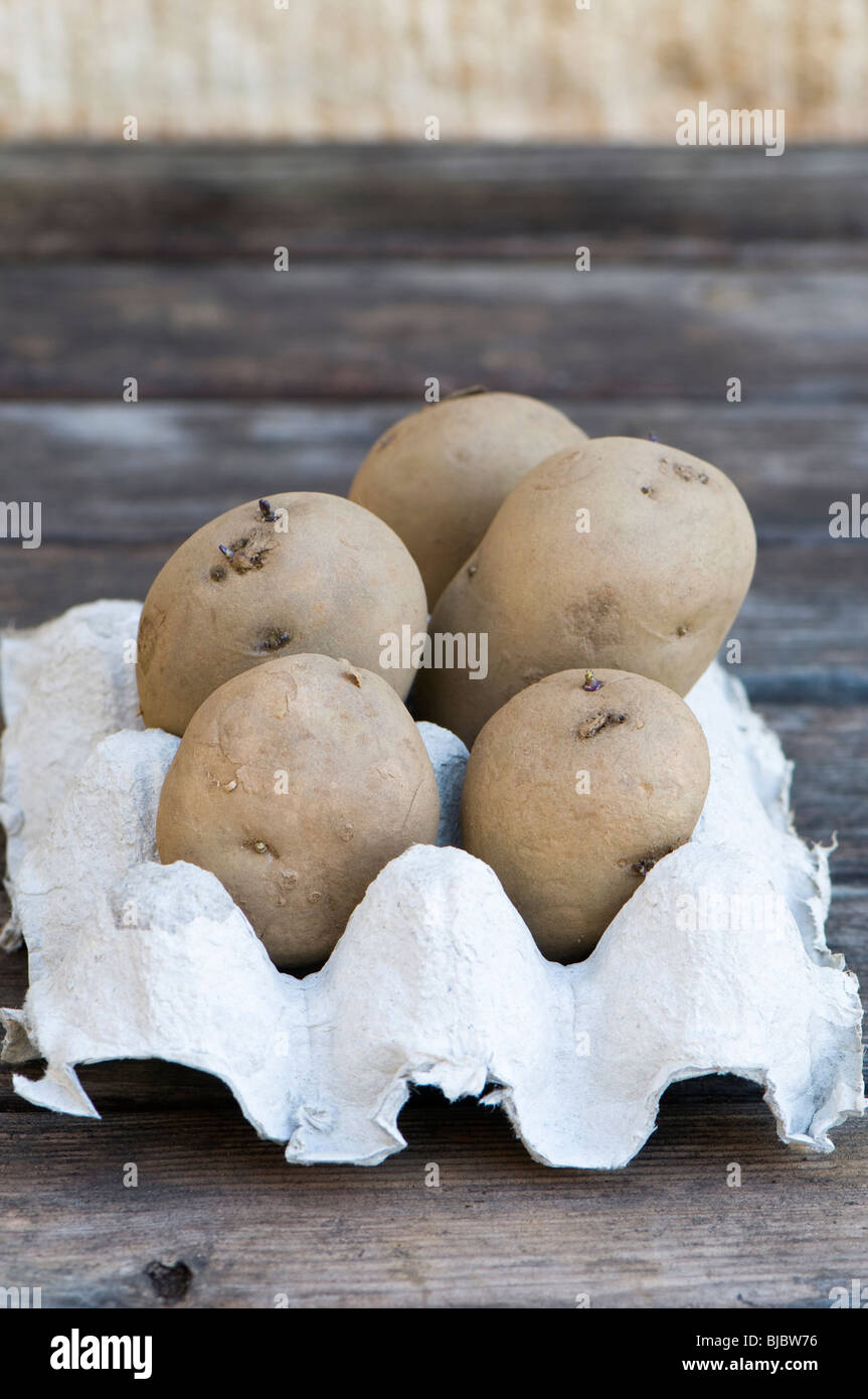 International Kidney seed potatoes, early main crop , also marketed as Jersey Royal, in a cardboard egg tray - Stock Image