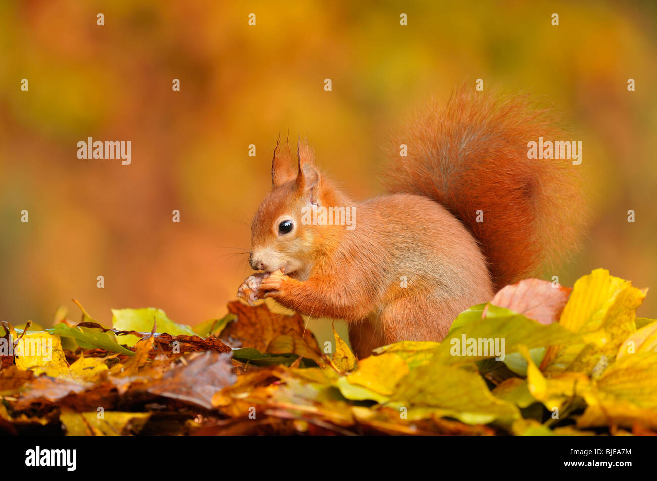 Red Squirrel (Sciurus vulgaris) feeding amongst beech leaves during the autumn, Netherlands. - Stock Image