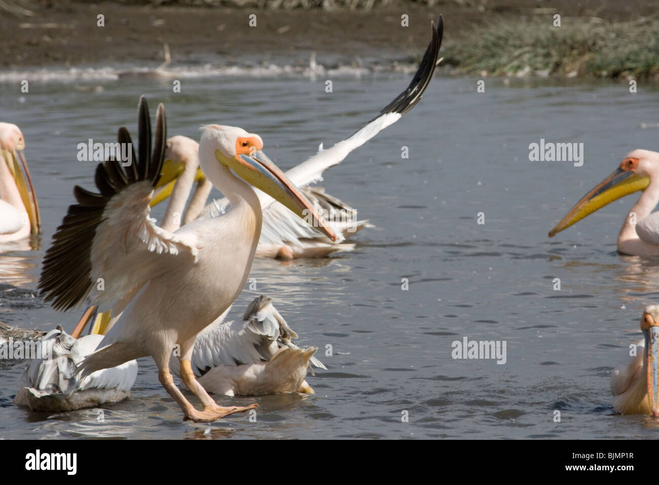 Great White Pelican (Pelecanus onocrotalus ) landing at lake Nakuru (Kenya). - Stock Image