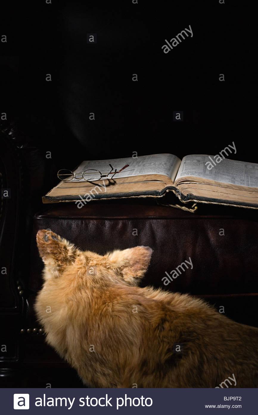 Fox looking at book - Stock Image