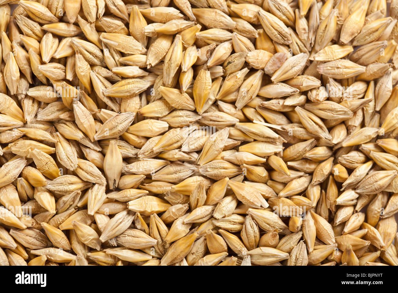 barley grain - Stock Image