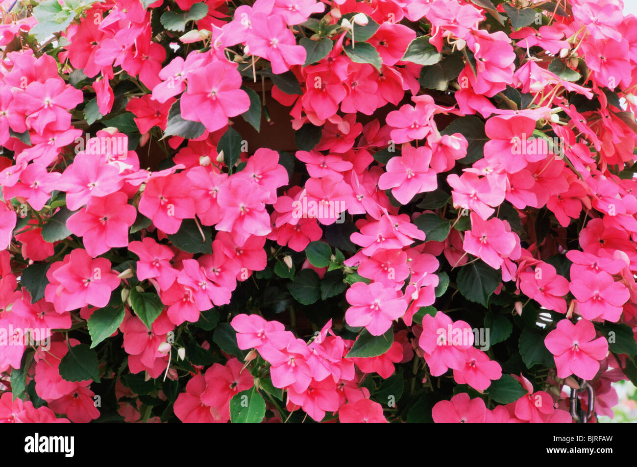 New Guinea Impatiens Flowers Stock Photo 28791137 Alamy