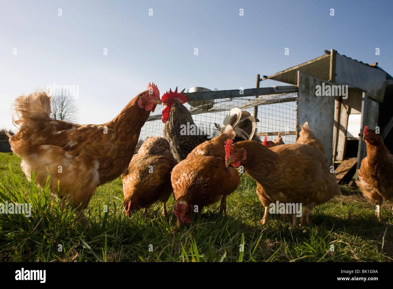 free-range-hen-chickens-roam-in-a-green-