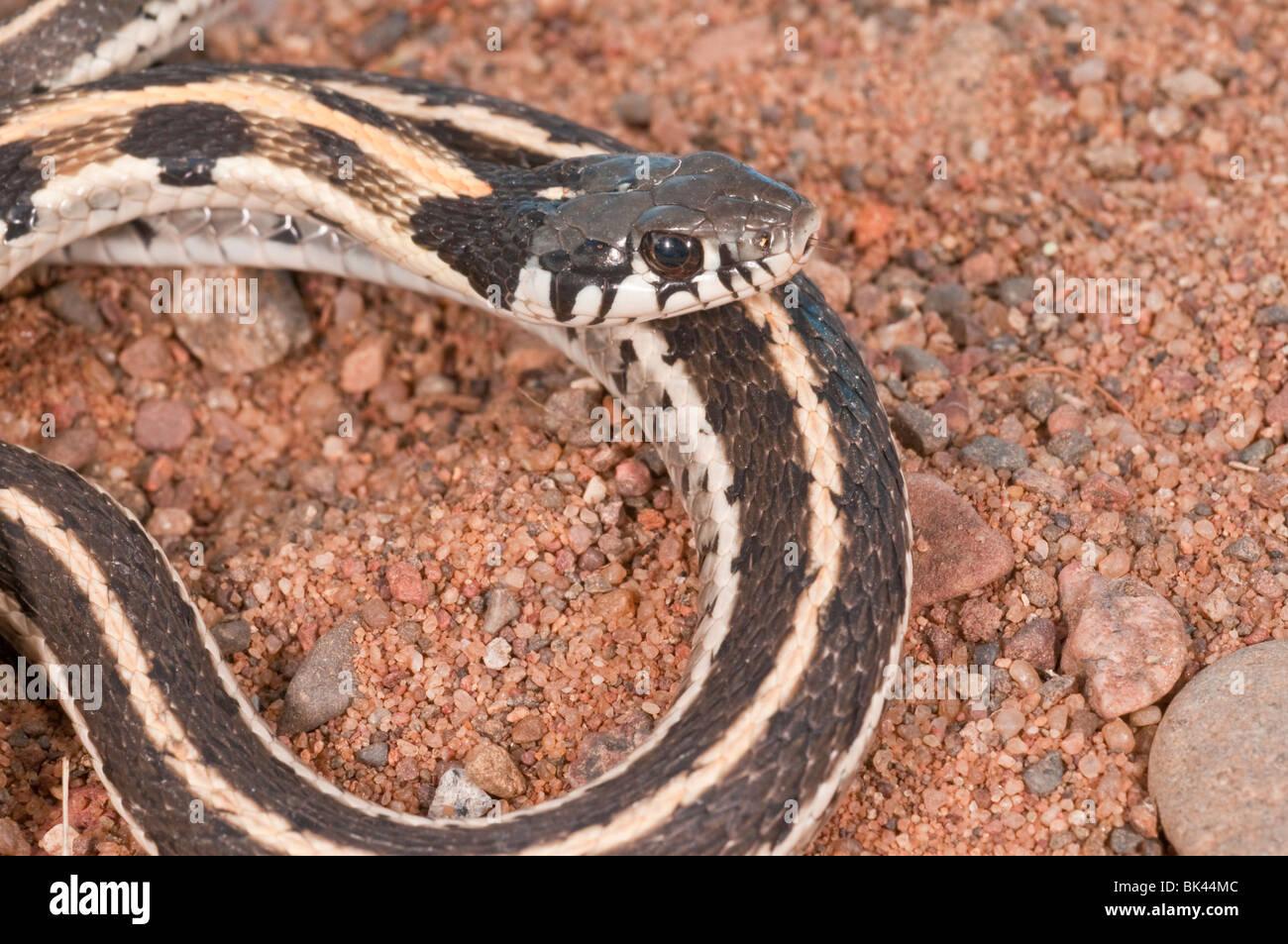 Western Garter Snake Reptile Stock Photos Amp Western Garter