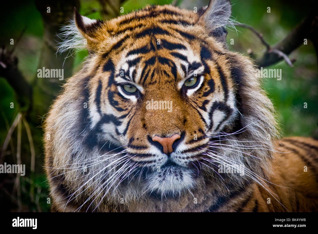 Sumatran tiger - Panthere tigris sumatrae - Stock Image