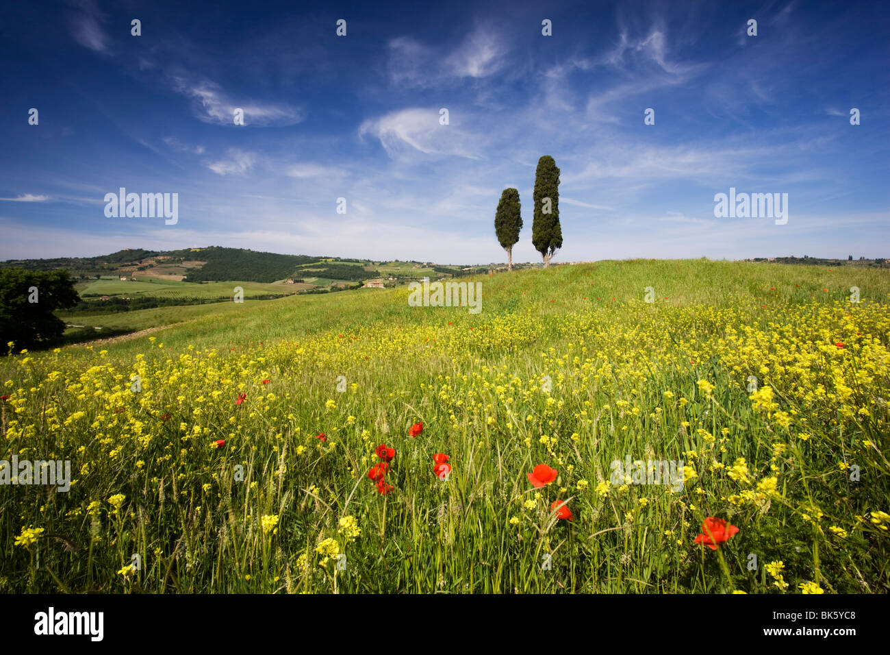 Field of poppies and oil seed with two cypress trees on brow of hill, near Pienza, Tuscany, Italy, Europe - Stock Image