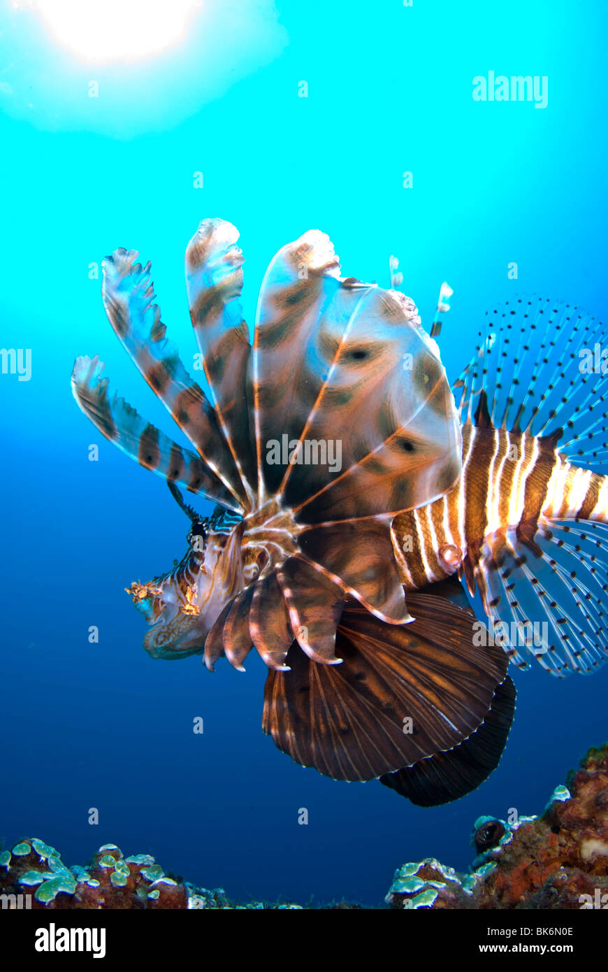 Lionfish, South Africa, Indian Ocean - Stock Image