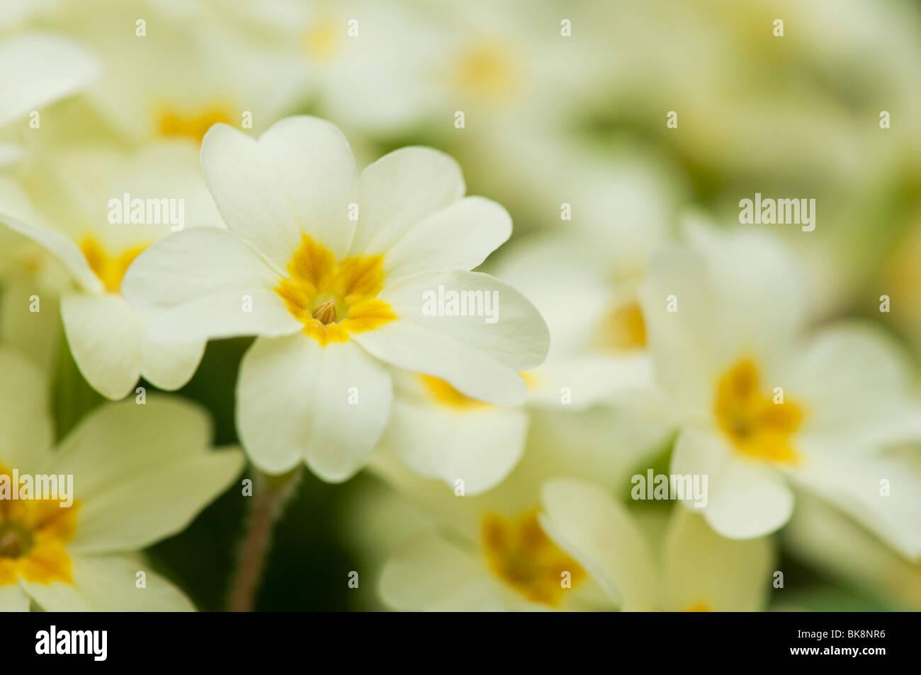 primula-vulgaris-wild-primrose-flowers-B