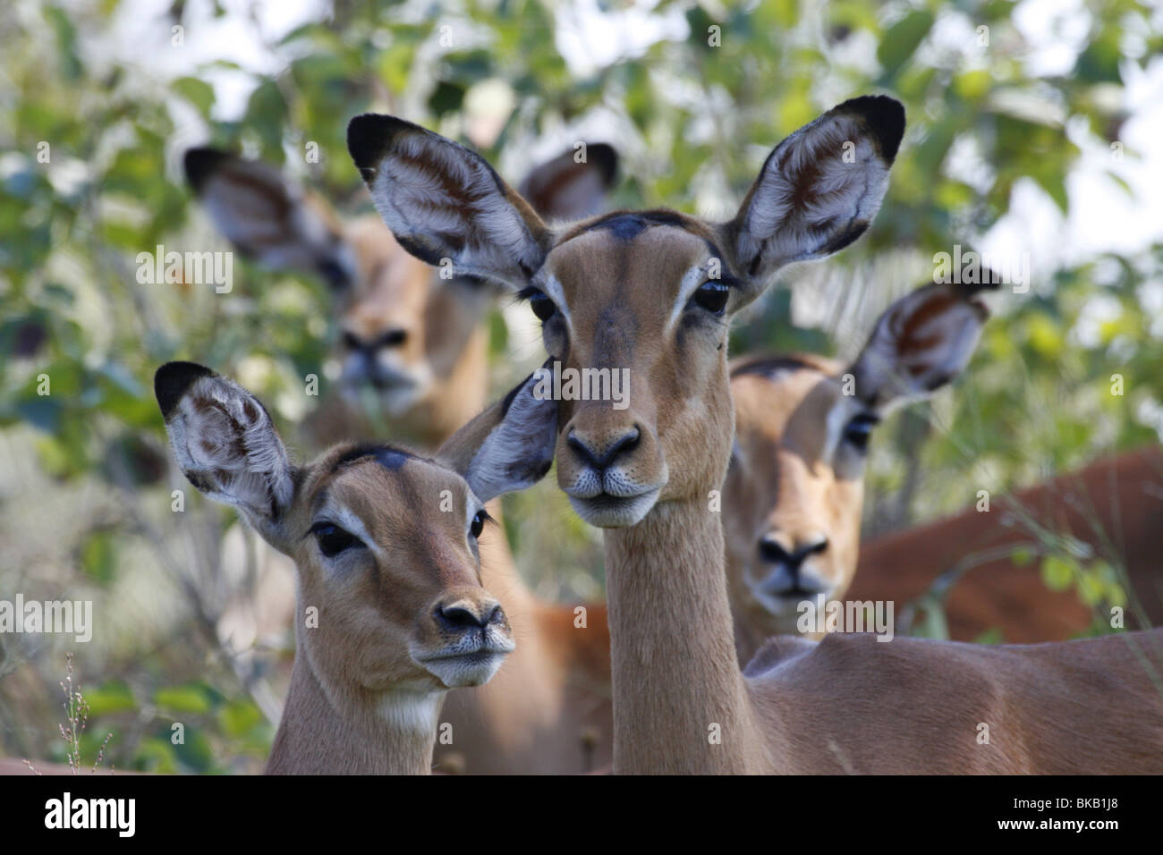 impala, kruger, south, africa - Stock Image