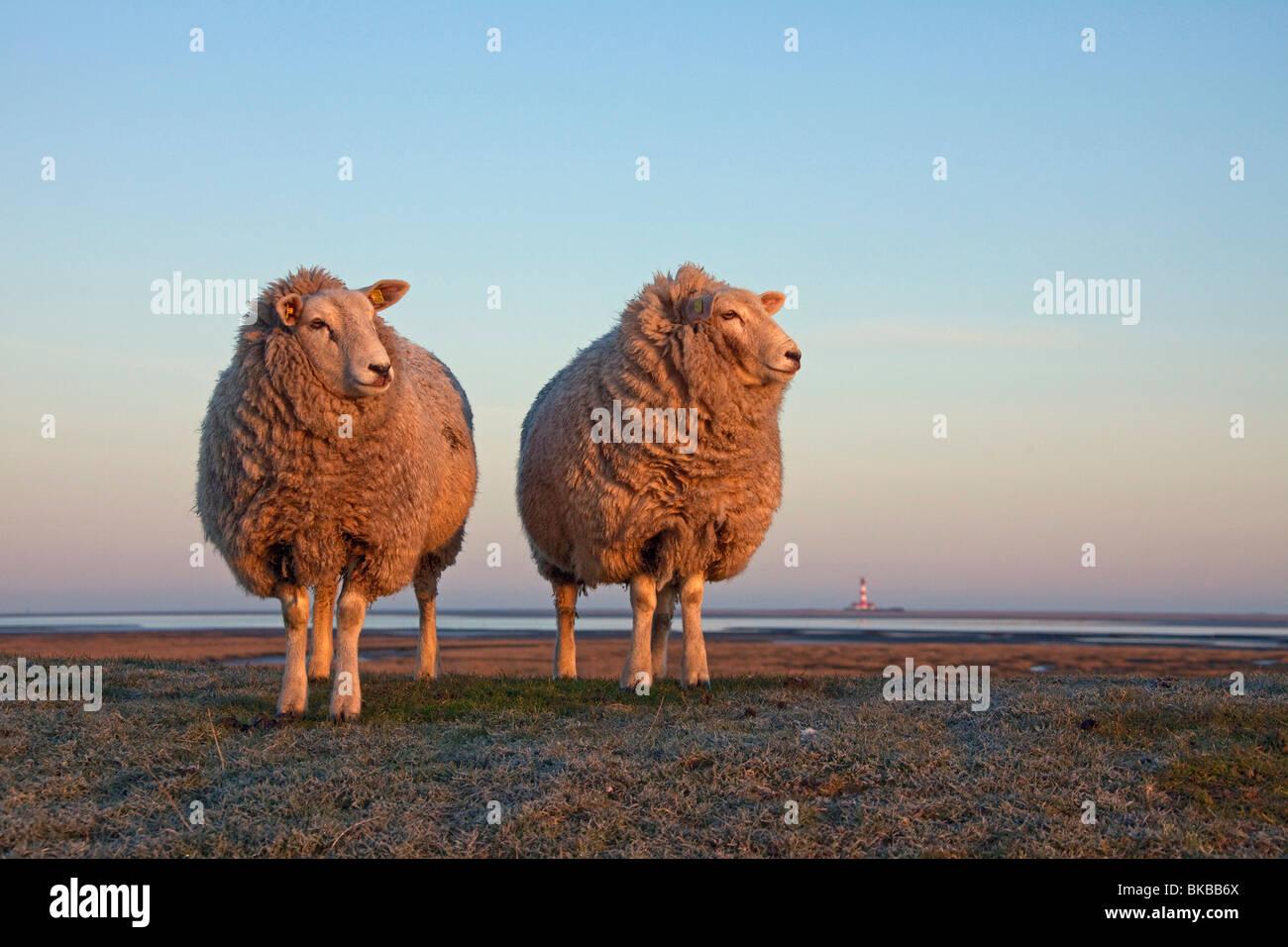 Domestic Sheep (Ovis ammon aries) with lighthouse Westerheversand on the far horizon. - Stock Image