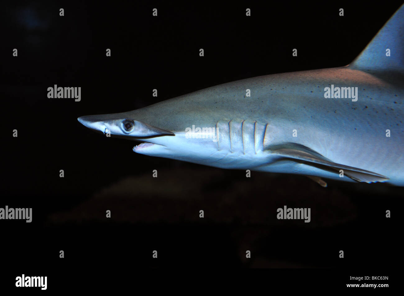 Bonnethead, Sphyrna tiburo, captive - Stock Image