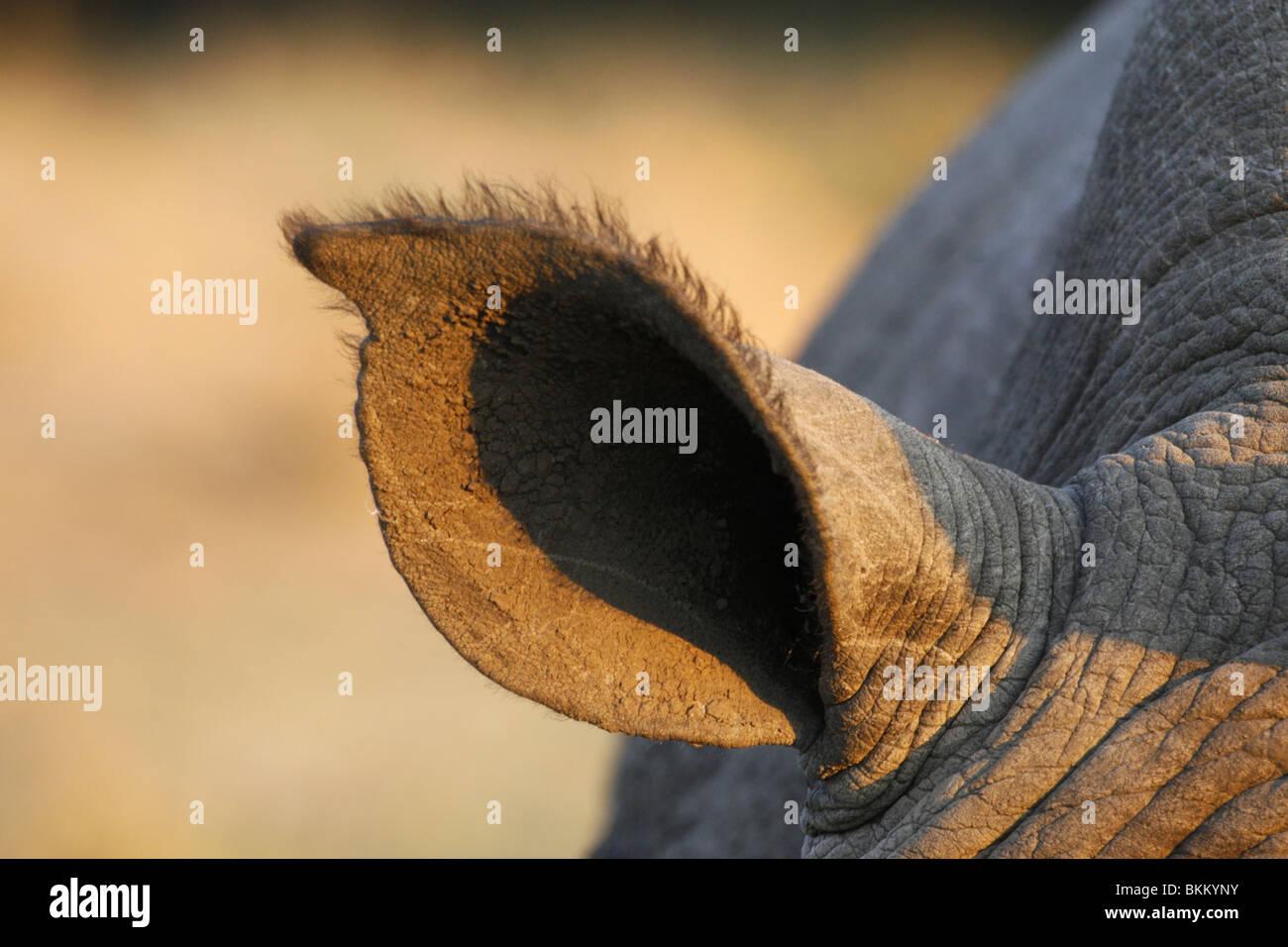 white, rhino ear, South Africa - Stock Image