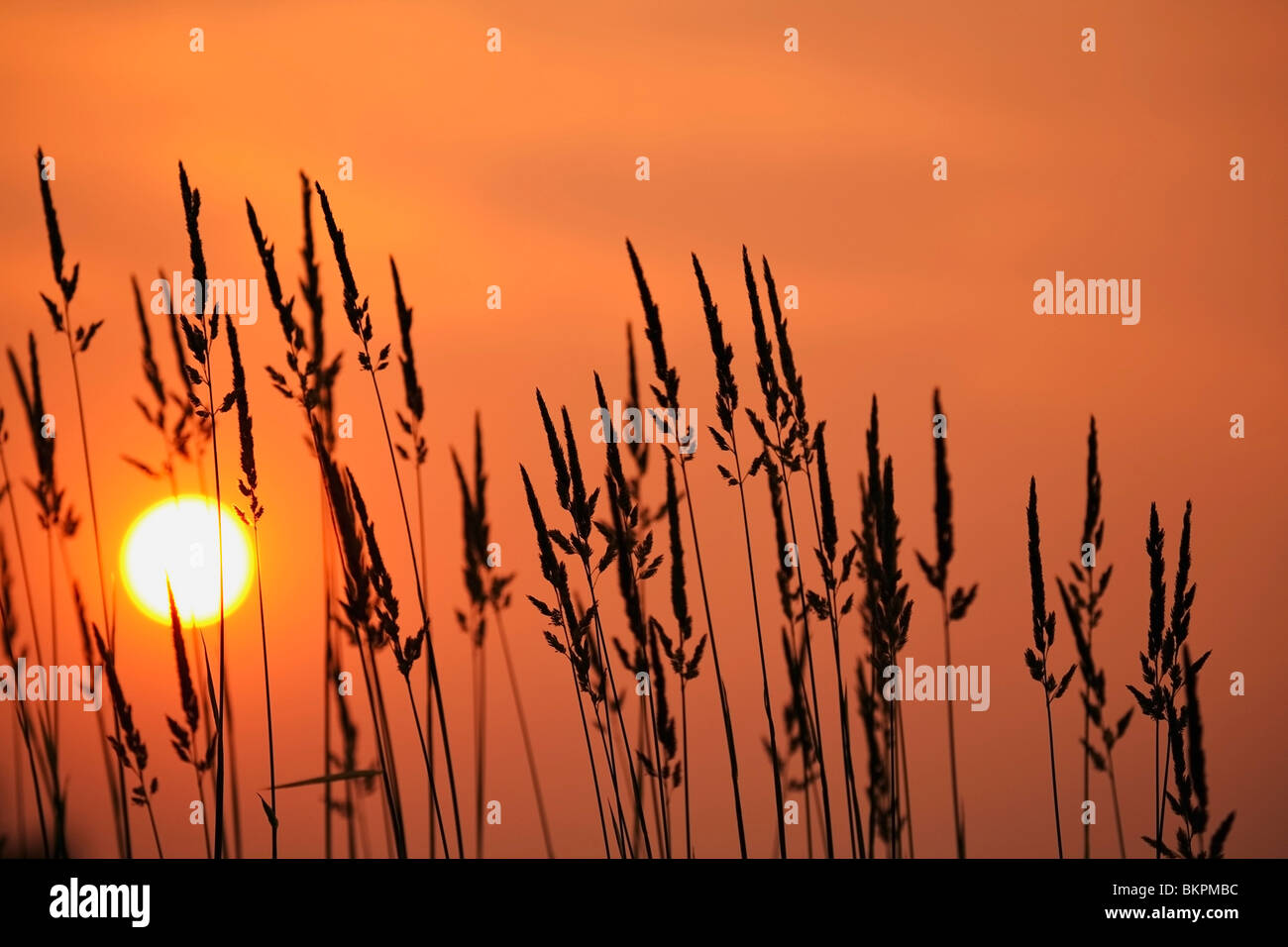 Tall Grass In A Sunset - Stock Image