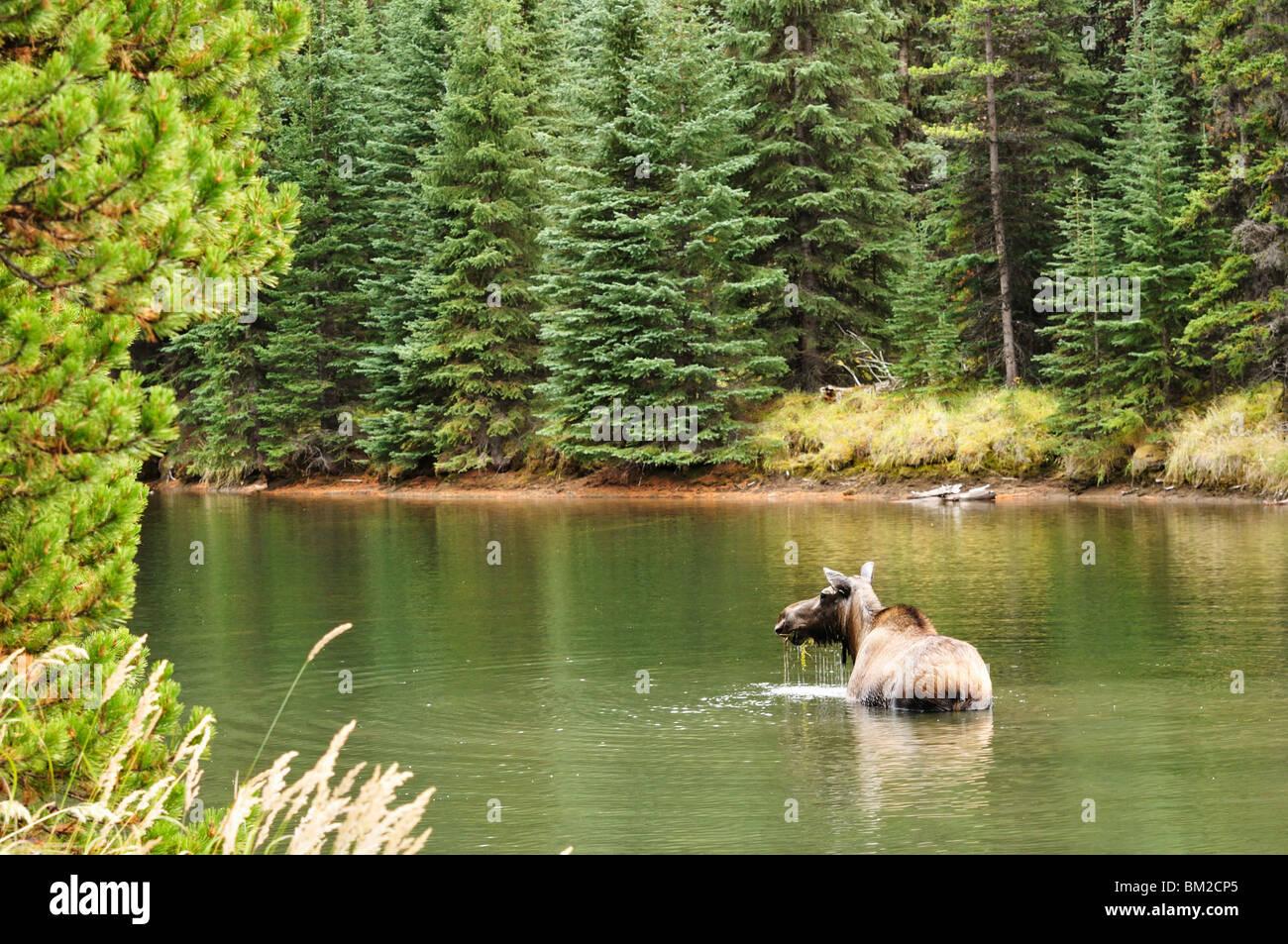 Cow moose feeding in Moose Lake, Jasper National Park, UNESCO World Heritage Site, Alberta, Canada - Stock Image