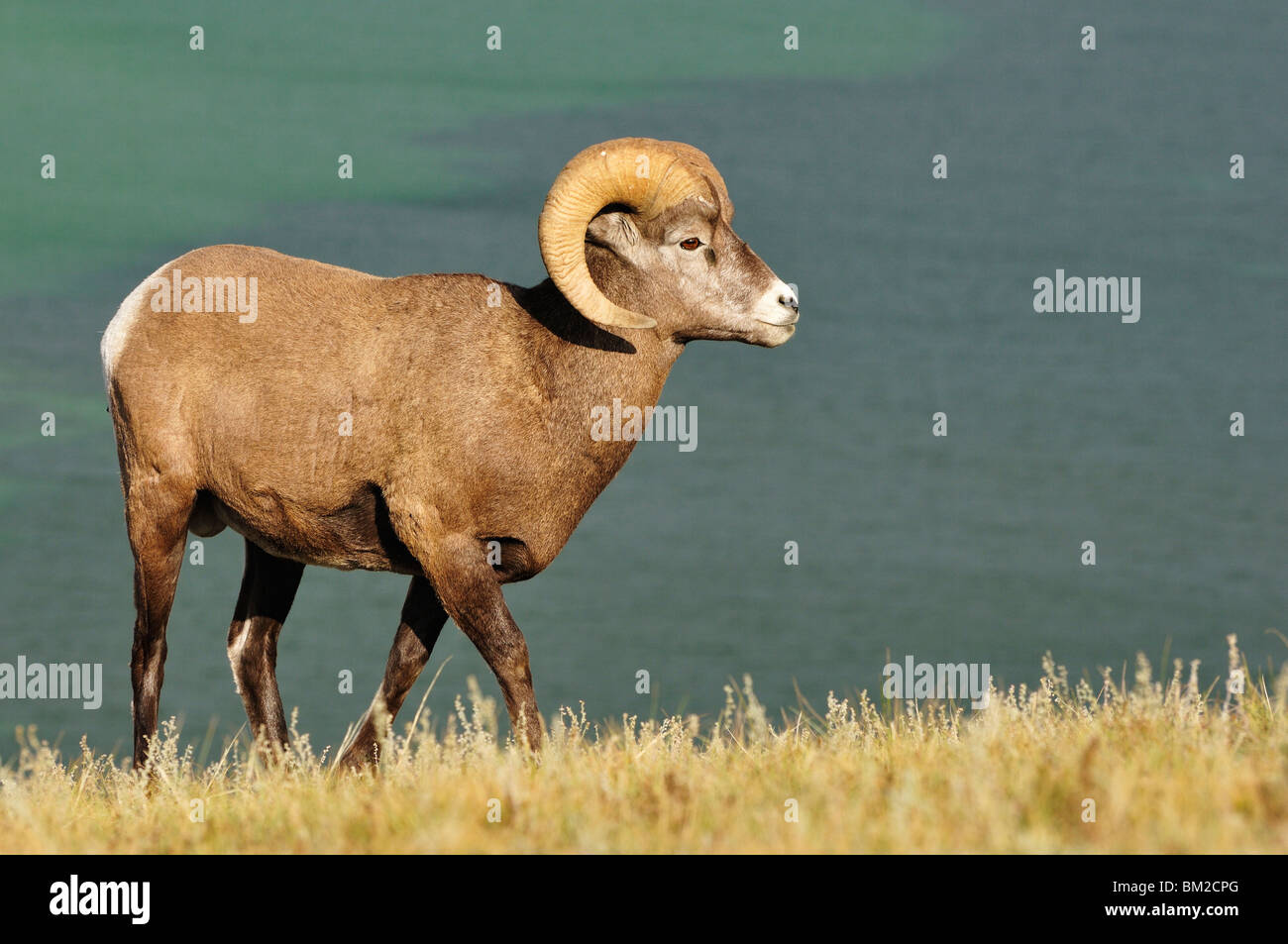 Bighorn Sheep, Jasper National Park, Alberta, Canada - Stock Image