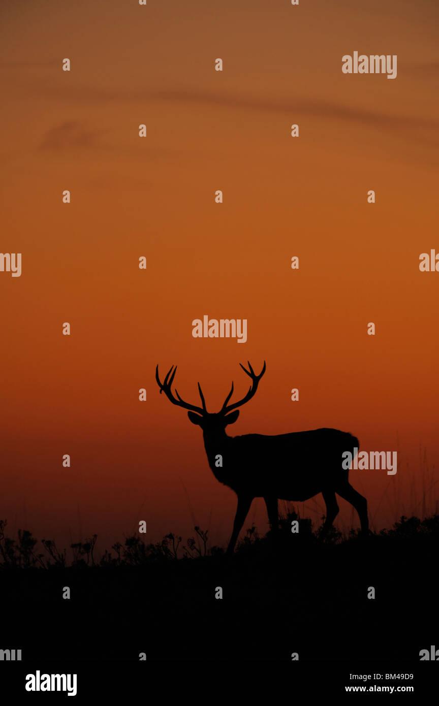 Red Deer (Cervus elaphus). Stag silhouetted at dusk. - Stock Image
