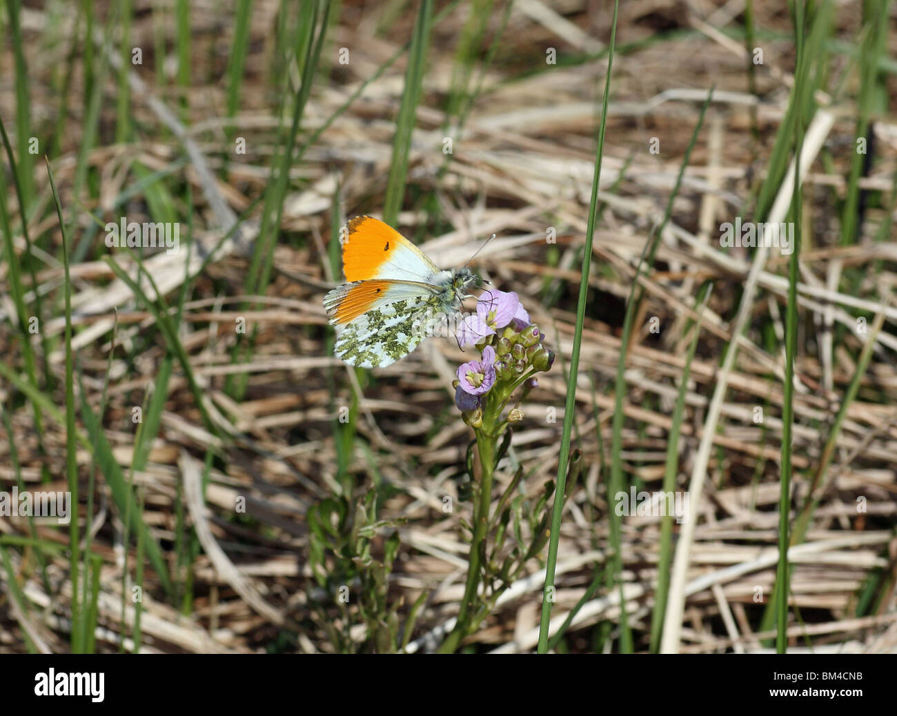 orange-tip-butterfly-anthocharis-cardamines-nectering-on-a-cuckooflower-BM4CNB.jpg