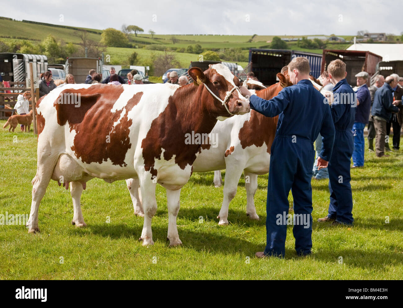 A group of Ayrshire milk cattle with their owners competing at a cattle show. Stock Photo