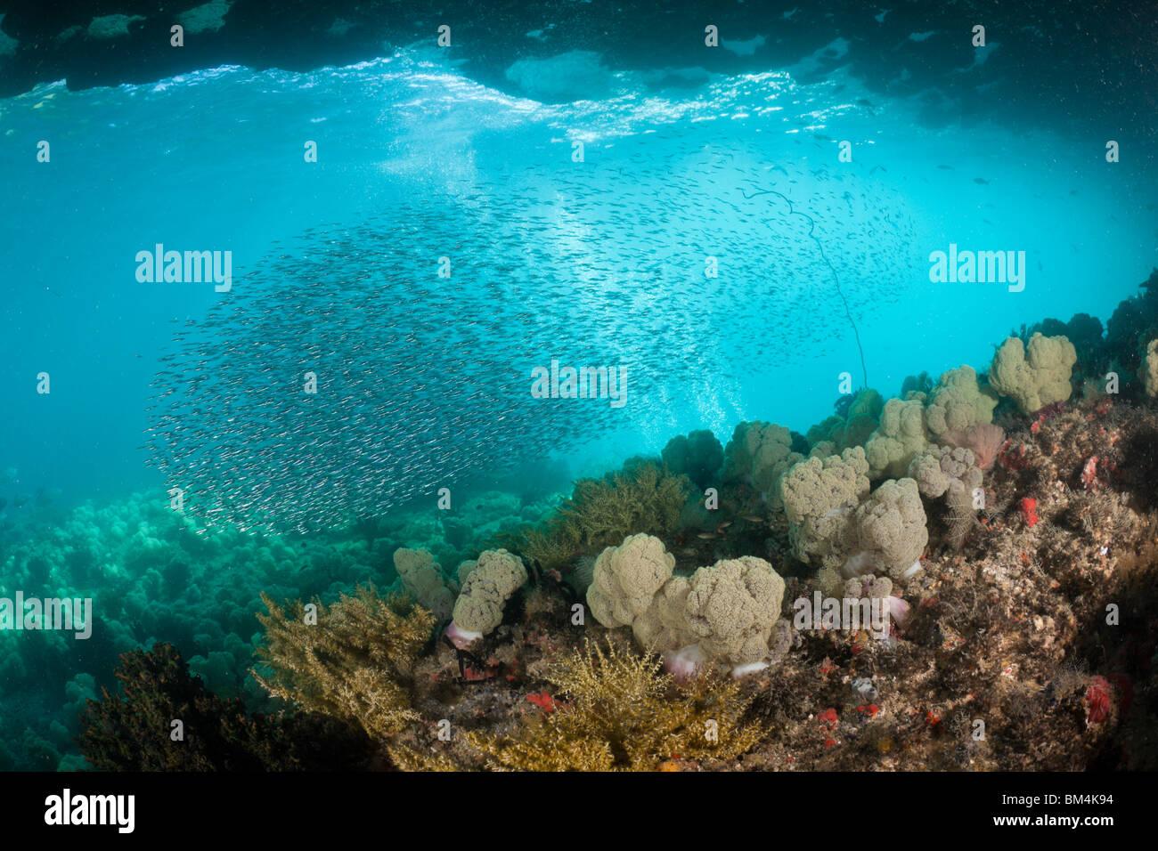 Shoal of Silversides, Atherinidae, Raja Ampat, West Papua, Indonesia - Stock Image