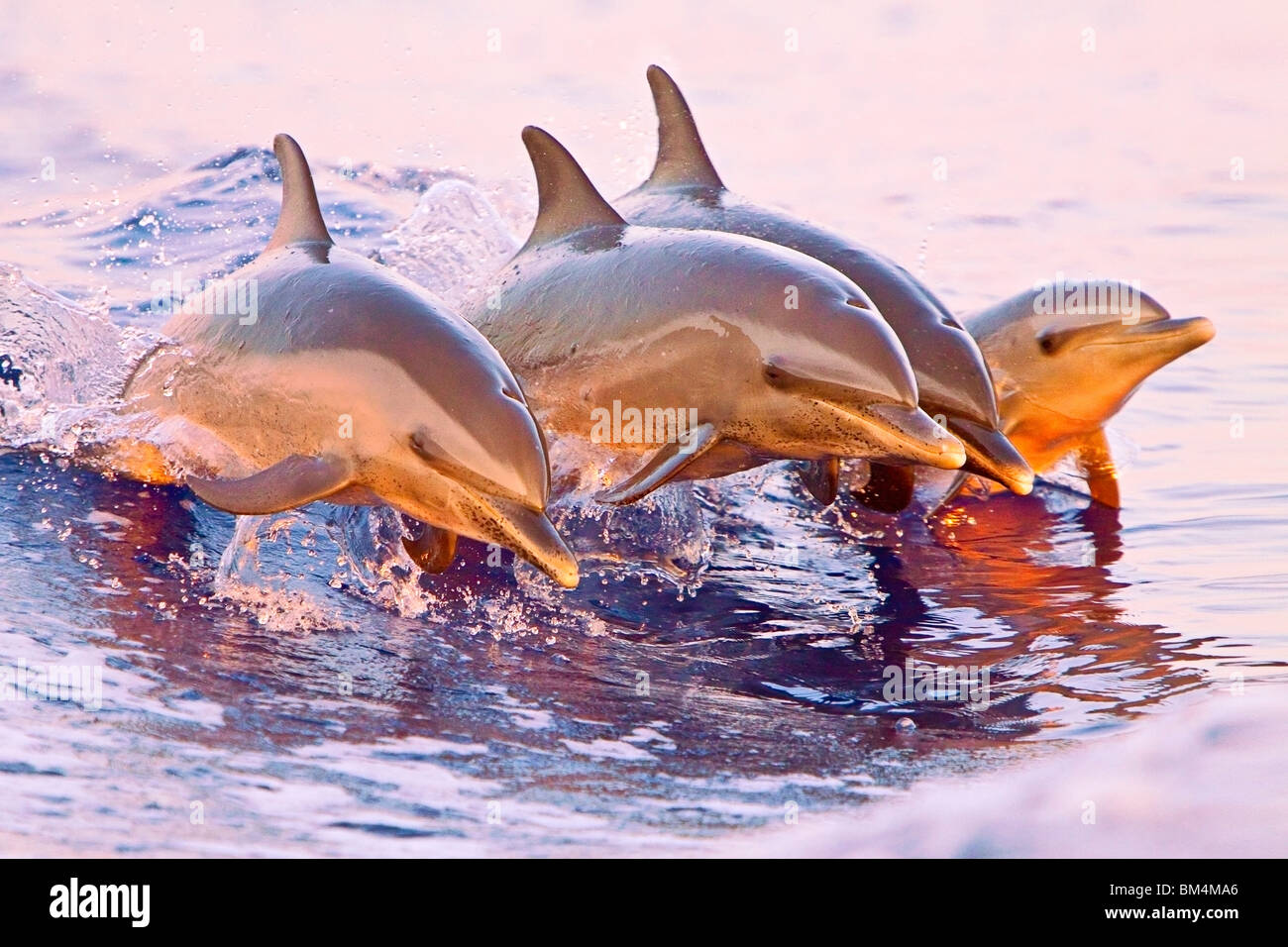 Pantropical Spotted Dolphin, Stenella attenuata, Pacific Ocean, Hawaii, USA - Stock Image