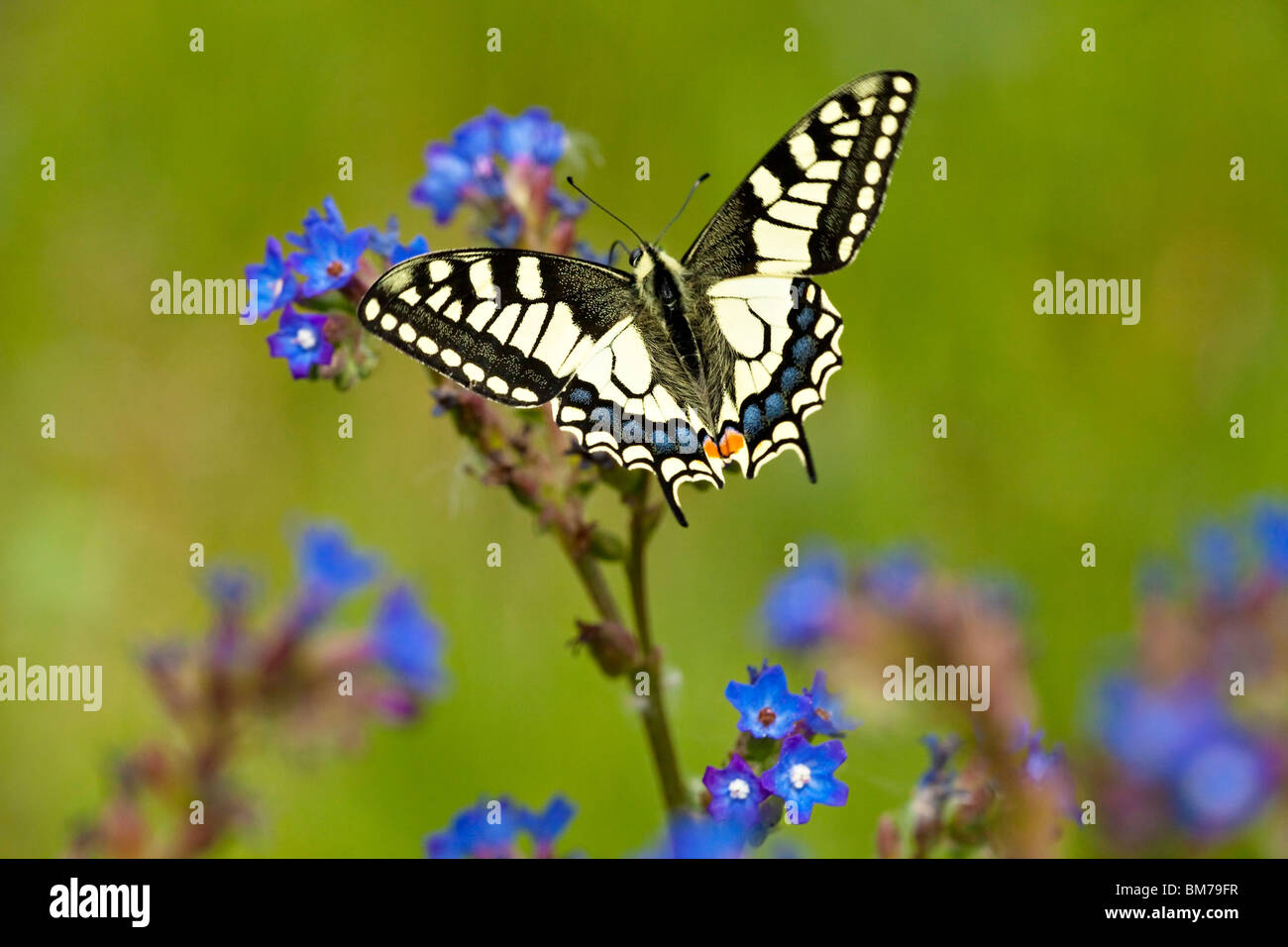 SWALLOWTAIL BUTTERFLY (Papilio machaon). - Stock Image