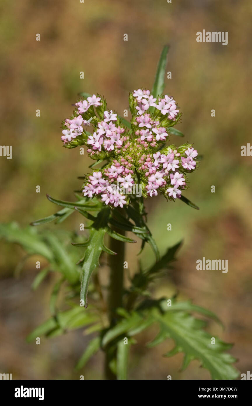 Annual valerian flower (Centranthus calcitrapae) - Stock Image
