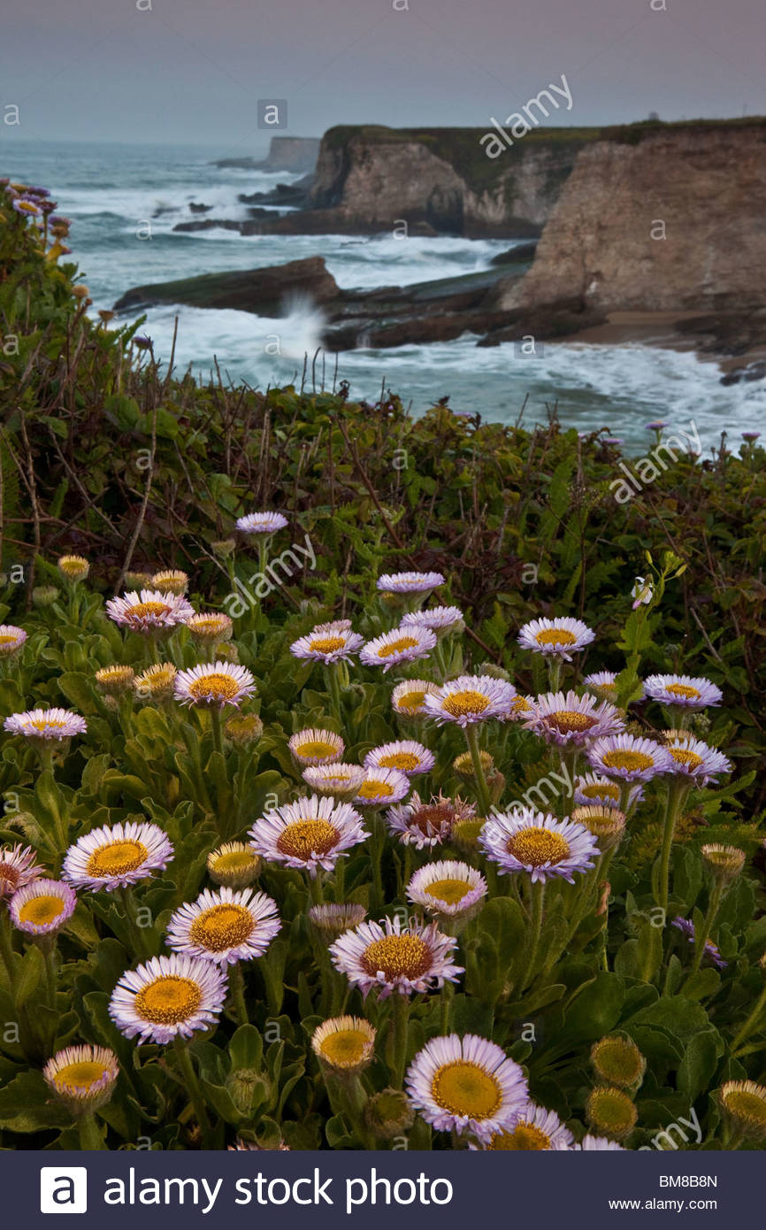 Beautiful flowers on the cliffs at Panther beach on the Californian coast, USA. - Stock Image