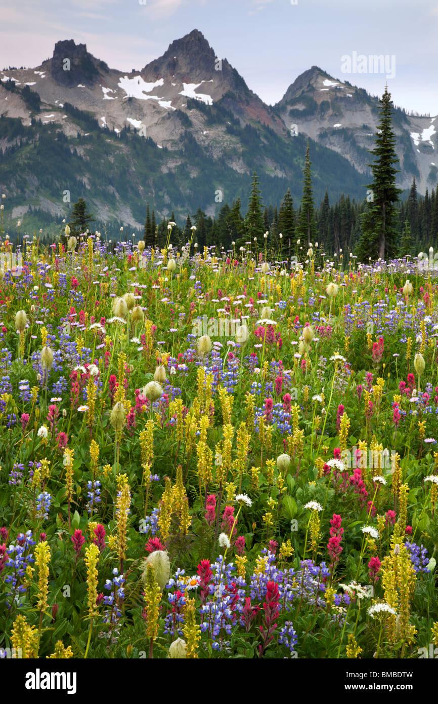Mount Rainier Natl Park, WA Peaks of the Tatoosh Range above a lush meadow of alpine wildflowers on Mazama ridge - Stock Image