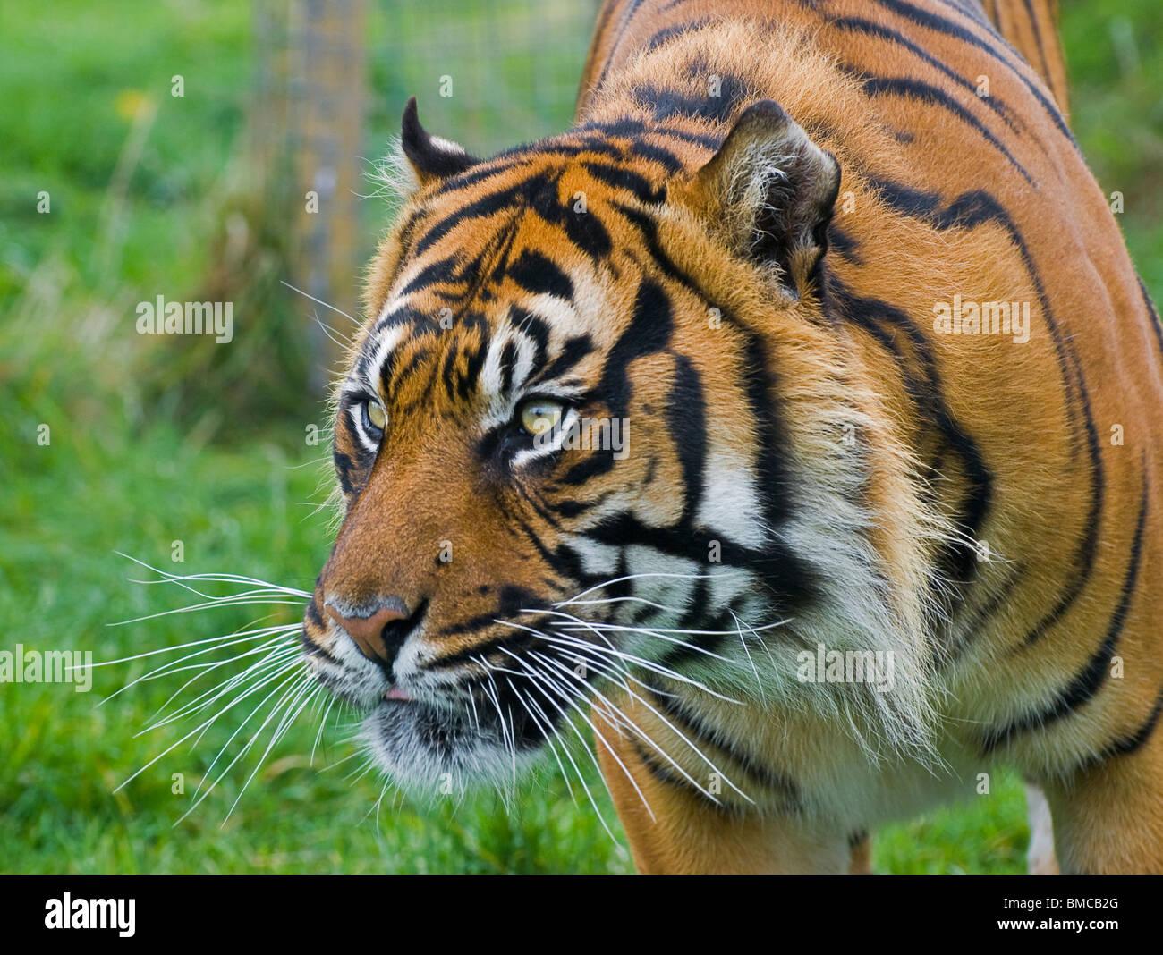 A Sumatran Tiger close-up intently staring - Stock Image